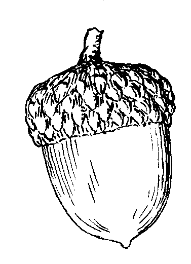 Acorn clip art line drawing.