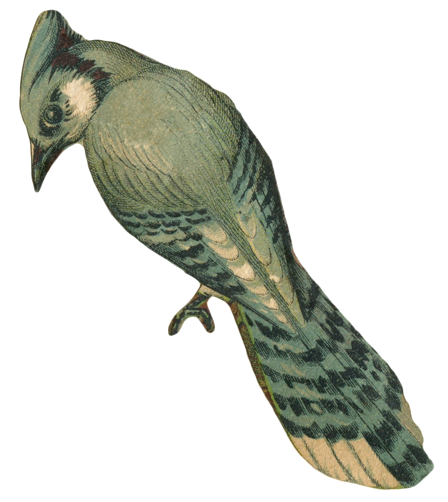 jay clipart white background