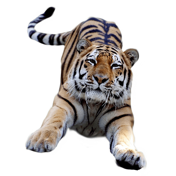 tiger clipart jumping