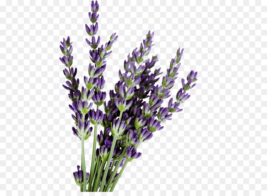 lavender clipart french