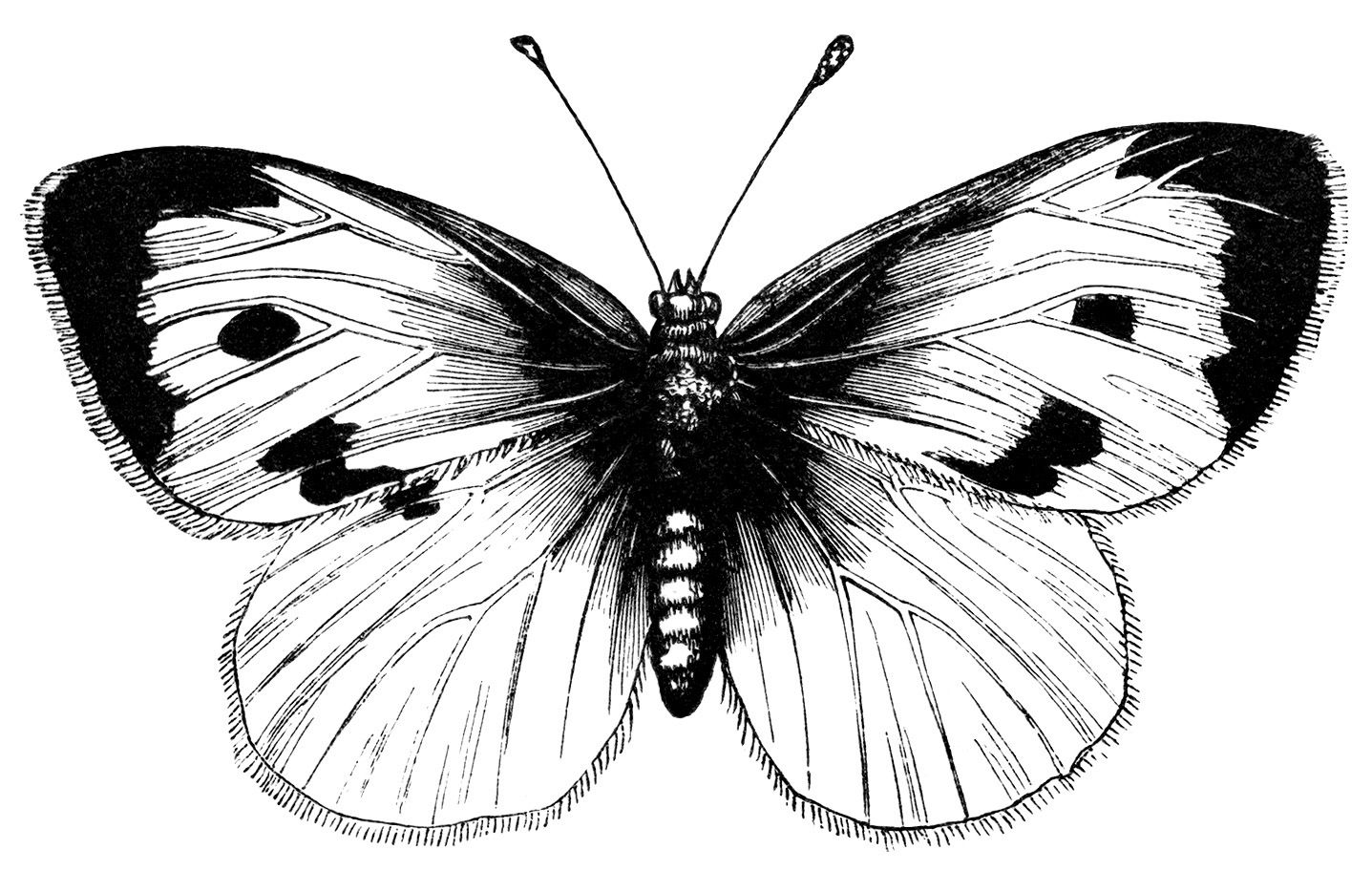 butterfly black and white clipart beautiful