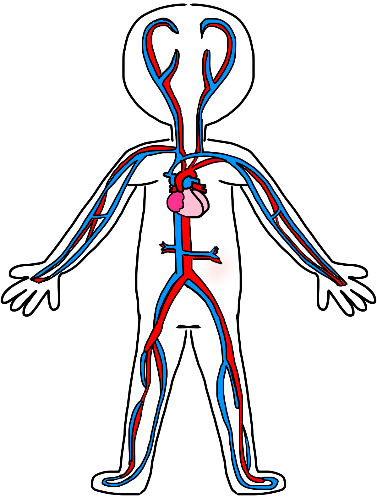 muscle clipart muscle anatomy