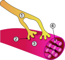 Strength clipart muscle contraction.
