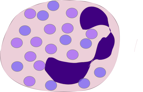 neutrophil clipart transparent