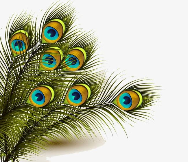 Peacock clipart feather.