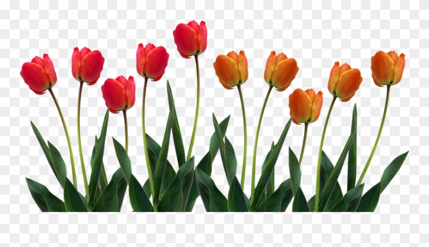 Tulip clipart tulips png.