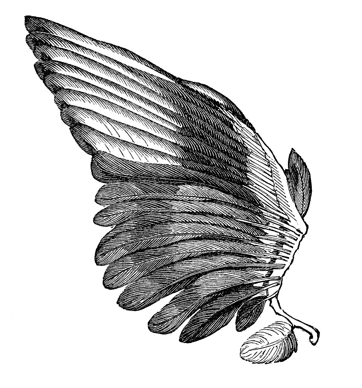 Wing clipart feather wing.